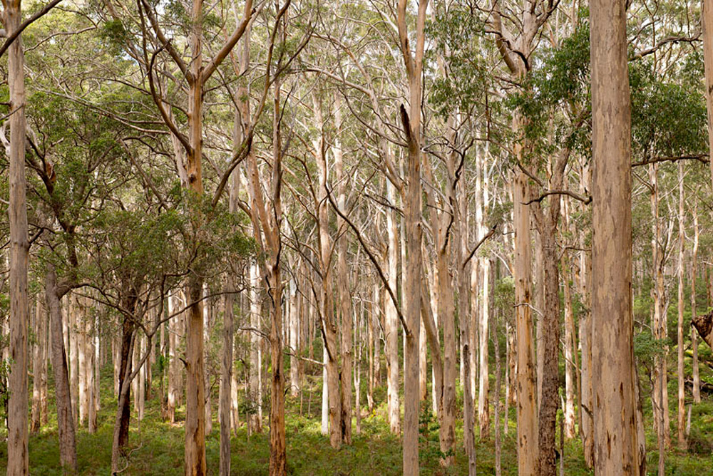 Boranup forest photograph by Ivy Ho available as fine art print