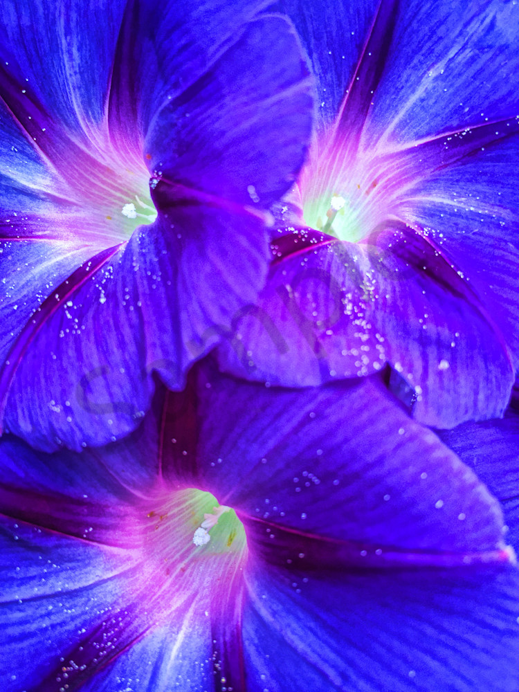 Morning Glory Delight|Fine Art Photography by Todd Breitling|Flowers|Todd Breitling Art|