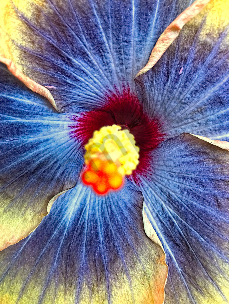 Hibiscus Flower|Fine Art Photography by Todd Breitling|Flowers|Todd Breitling Art