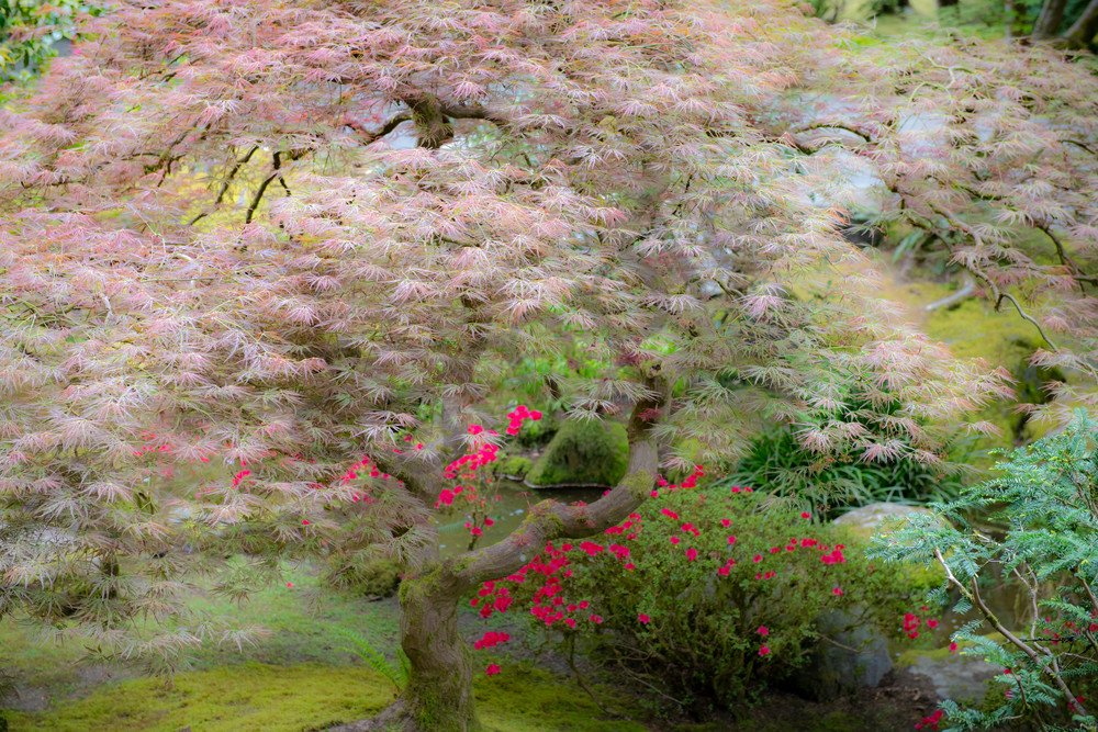 Japanese Maple - fine art photography - Portland Oregon