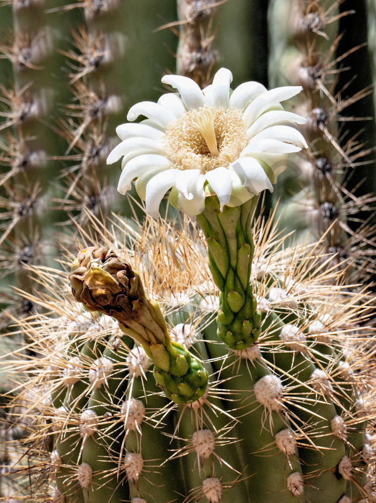 Saguaro Flowers 1 Photography Art | frednewmanphotography