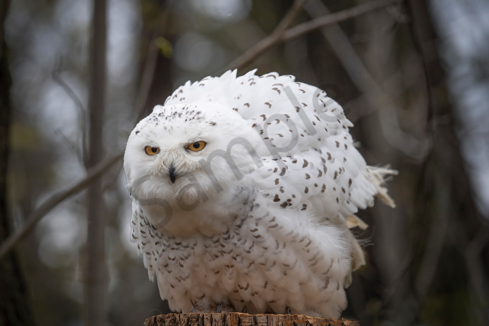 Snowl owl fluffing her wings - fine art photography - JP Sullivan Photography