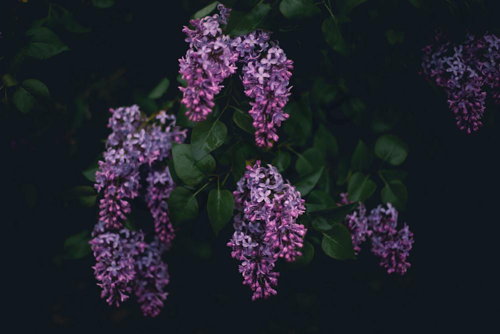 Moody Lilacs Photography Art | Sage & Balm Photography