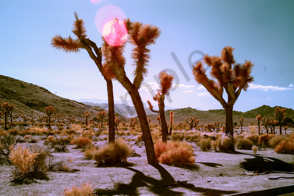 flares on Joshua Tree, photography, Infrared, art