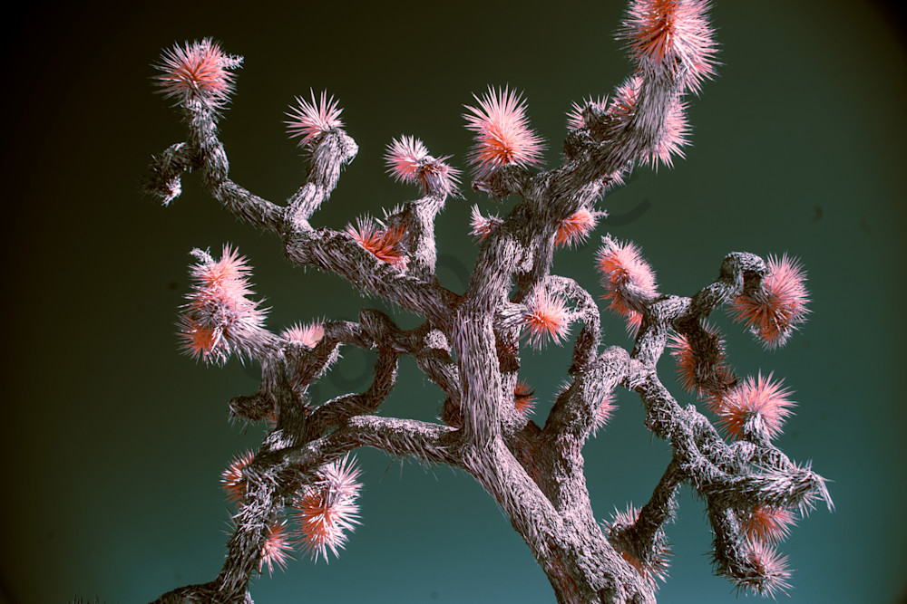 Staring up at a Joshua Tree, infrared photography, art
