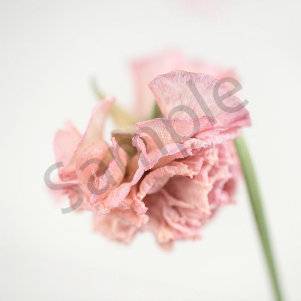 Pink Ranunculus