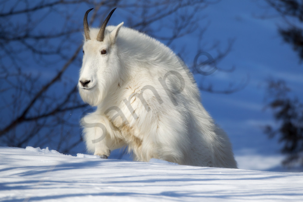 Mountain Goat | Robbie George Photography