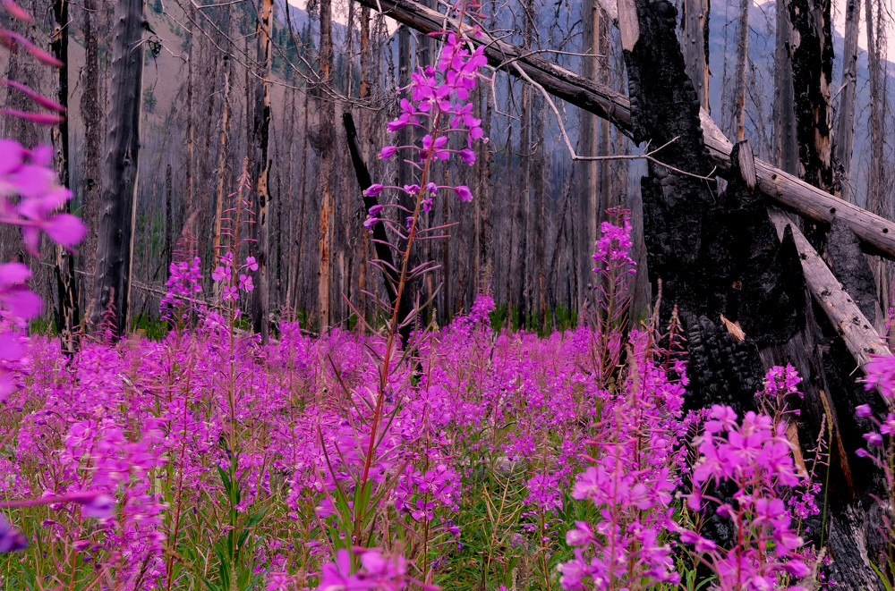 Fire weed decorating a forest in Banff National Park. Canadian Rockies | Rocky Mountains|