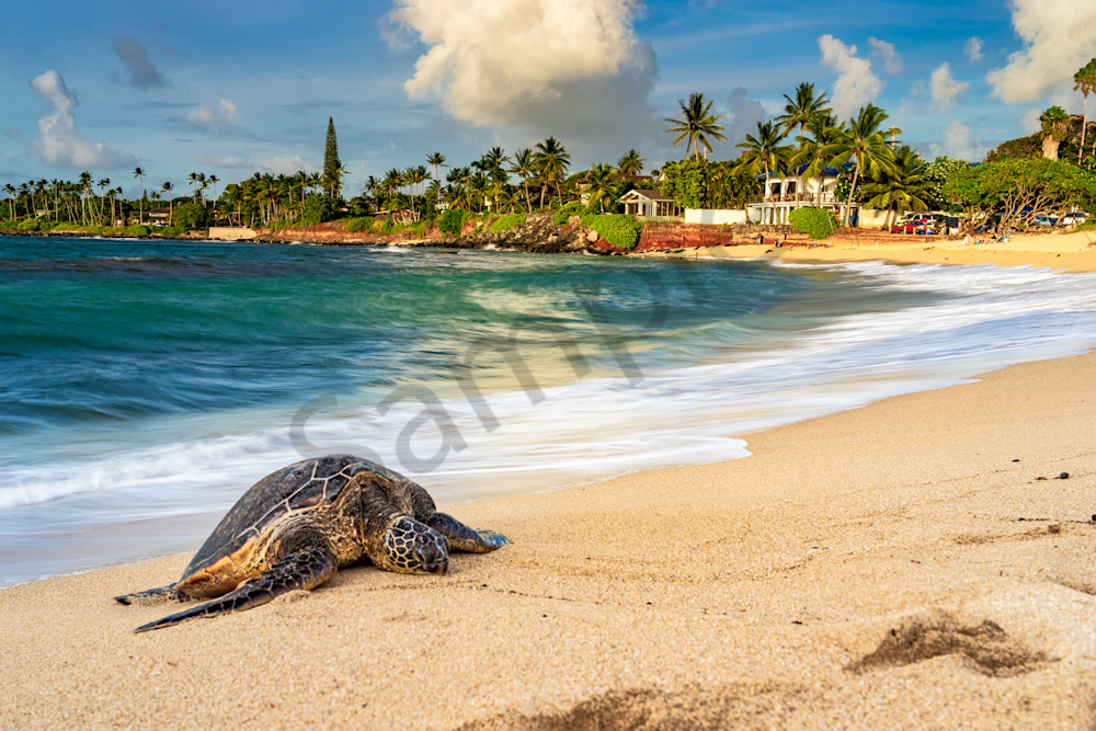 Hawaii Nature Photography Honu By The Sea By Peter Tang