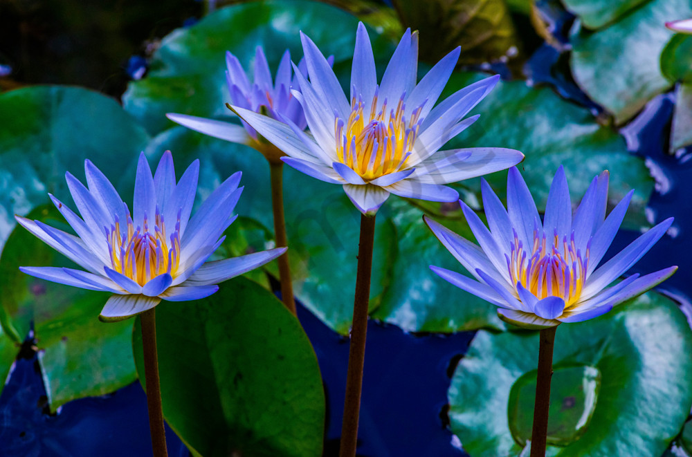 Hawaii Florals | Water Lily Trio by William Weaver