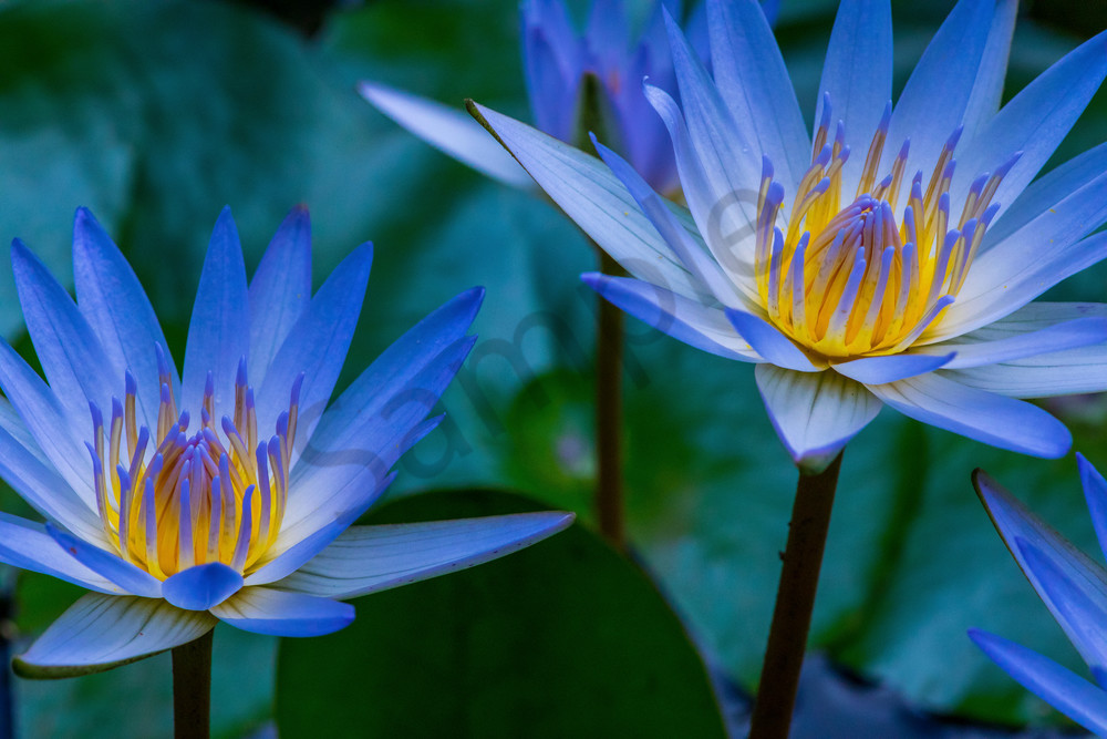 Hawaii Florals | Water Lily Pair by William Weaver