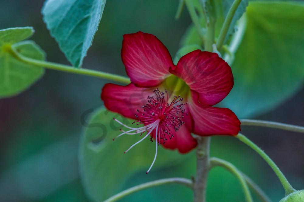 Hawaii Florals | Ko'oloa Ula by William Weaver