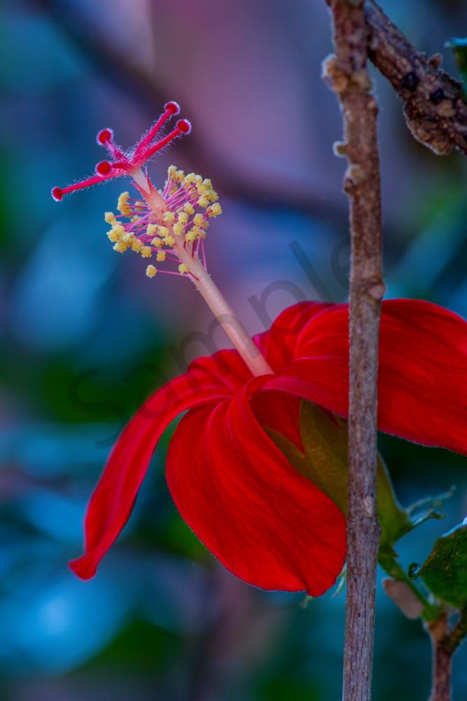Hawaii Florals   Kokio Ulaula by William Weaver