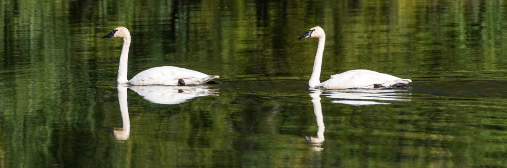 Trumpeter swans swimming together