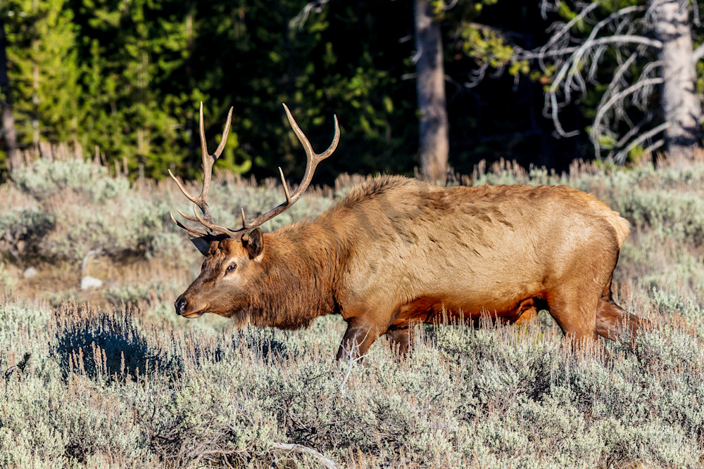 Bull Elk : Yellowstone National Park, Wyoming - By Curt Peters