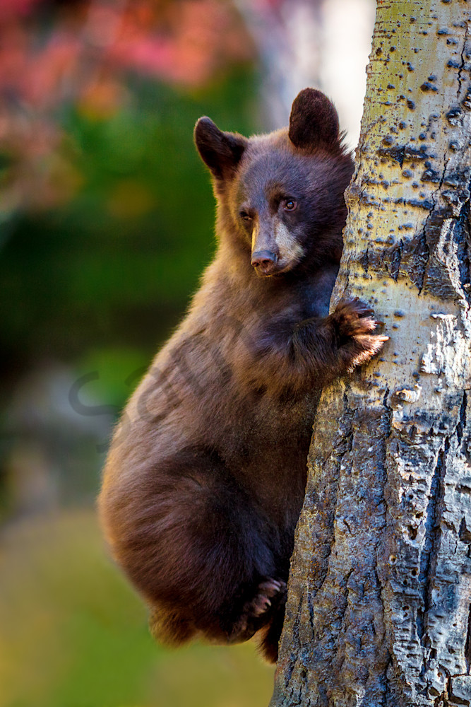 Black Bear Cub, Wyoming