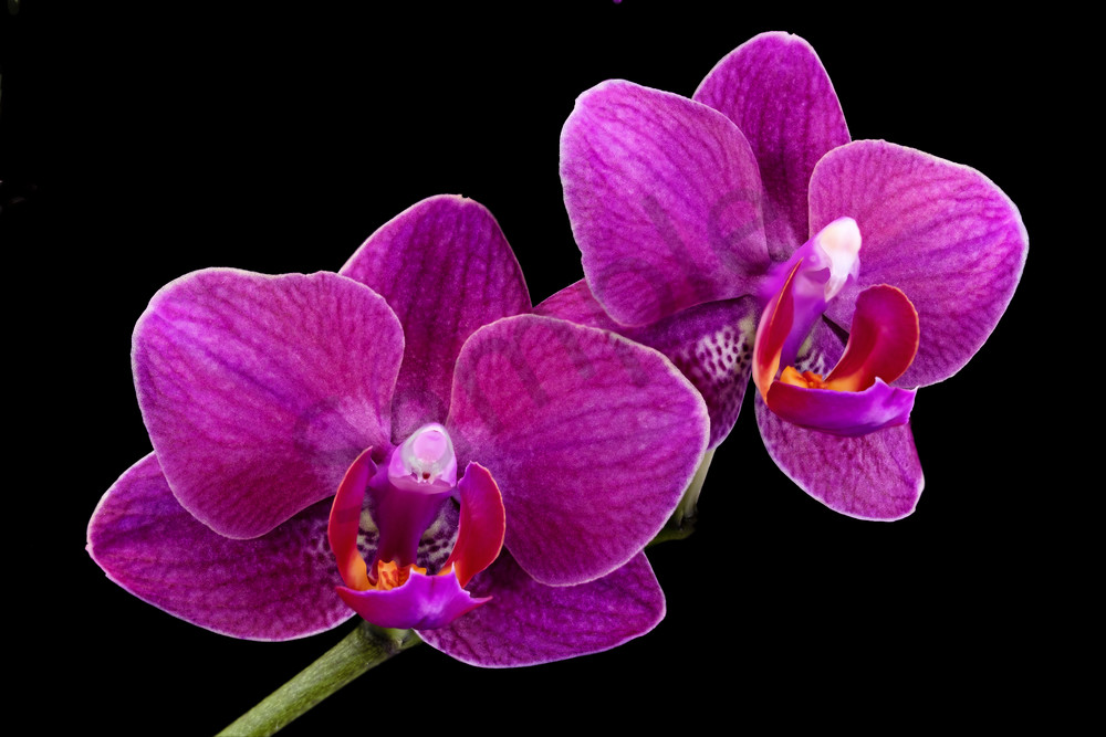 Two Purple Orchids