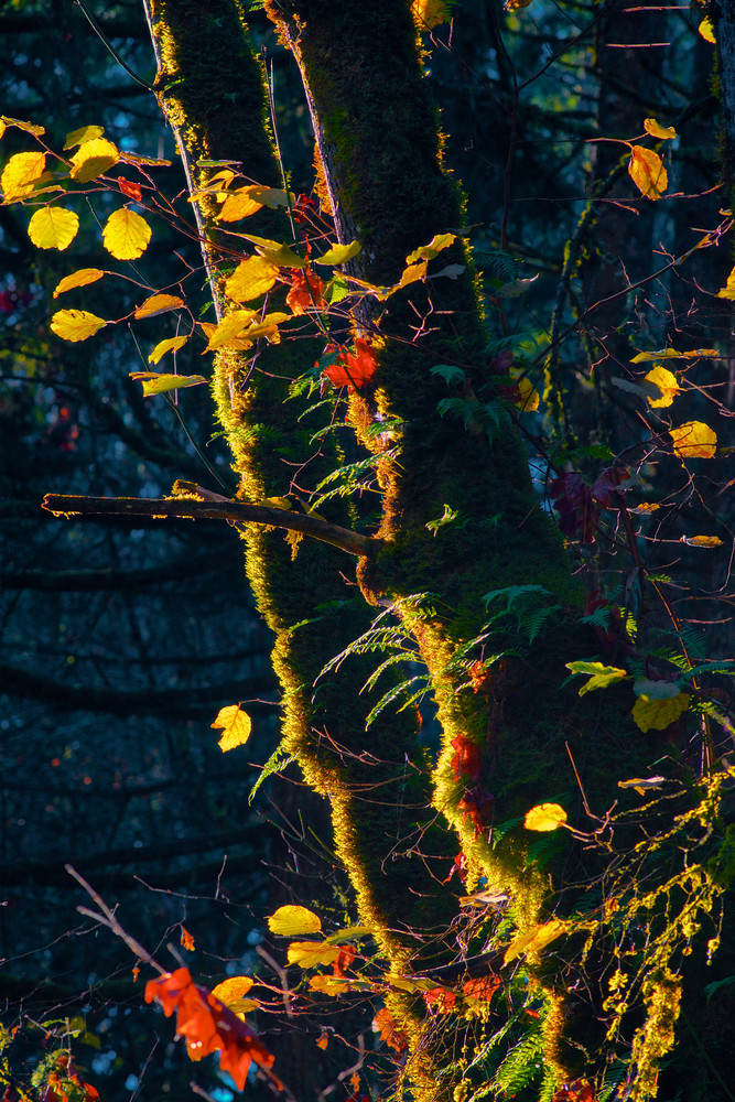Sunlit leaves, Fall leaves, Fall color, most covered, Mt Pisgah