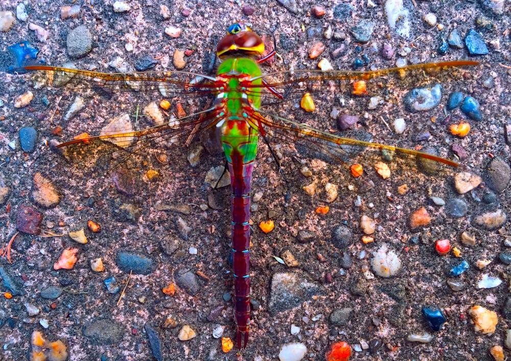 Dragonfly on Sidewalk Fine Art Photography by Todd Breitling
