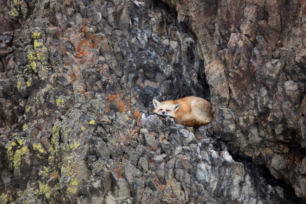 Fox Animal | Robbie George Photography