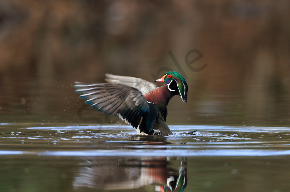 Wood Duck | Robbie George Photography