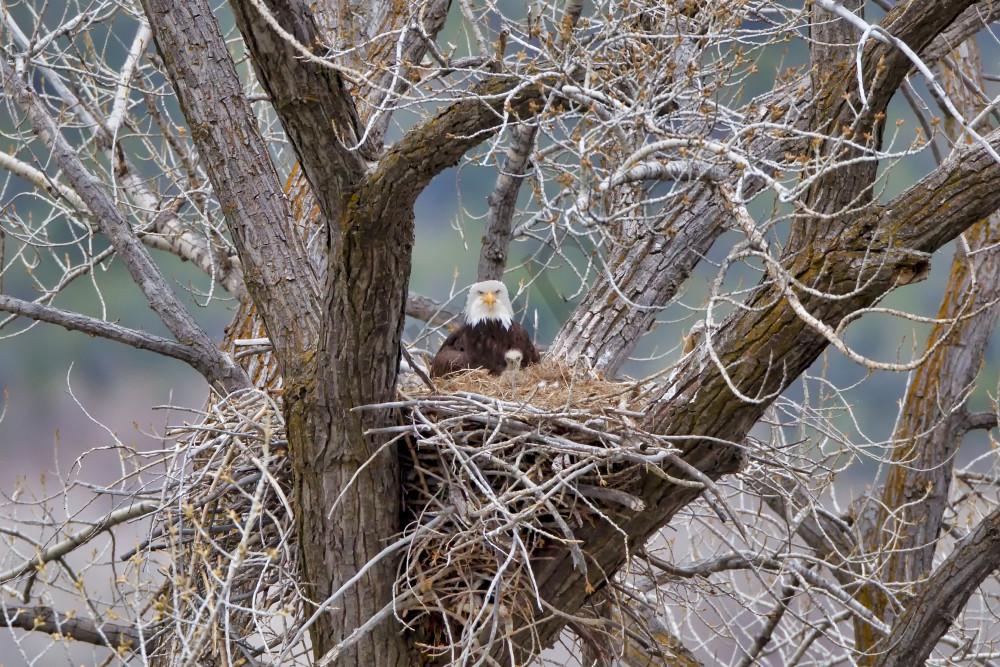 Bald Eagle Nest | Robbie George Photography