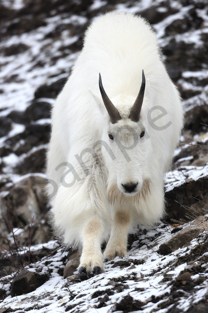 Wild Goat | Robbie George Photography