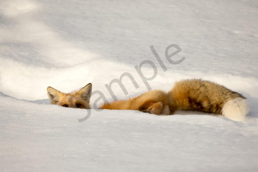 Winter Fox | Robbie George Photography