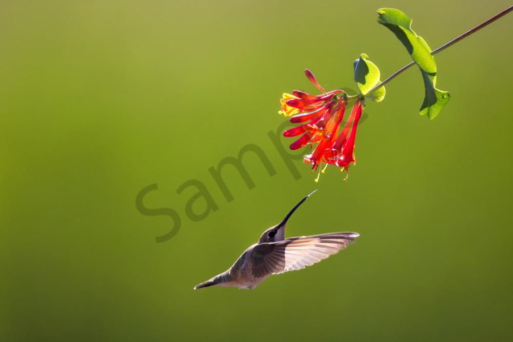 Hummingbird Nectar | Robbie George Photography
