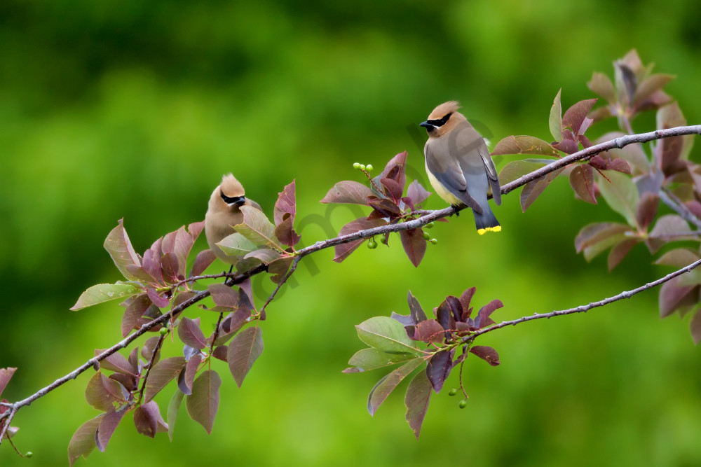 Cedar Waxwings | Robbie George Photography