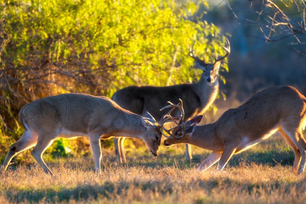 White Tailed Deer | Robbie George Photography
