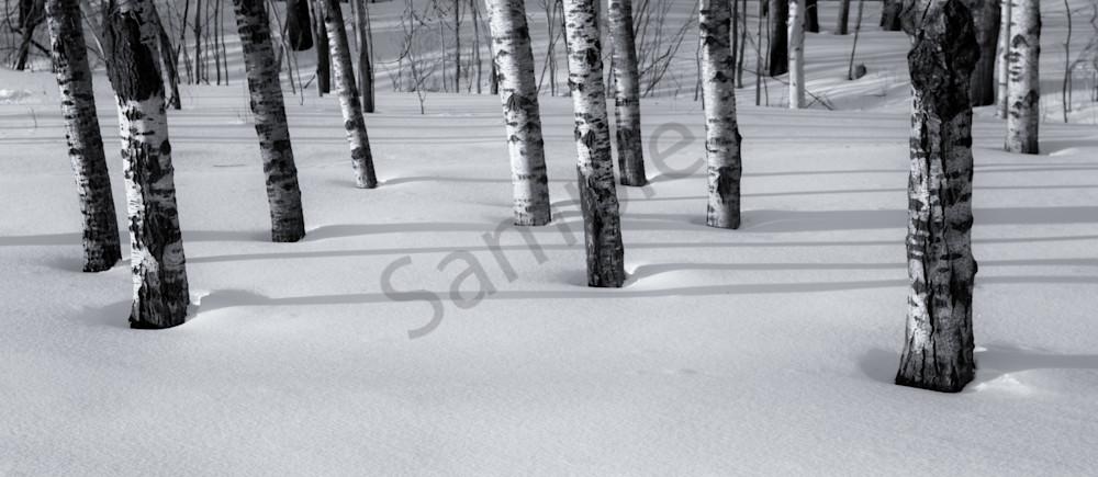 Birches - Minnesota