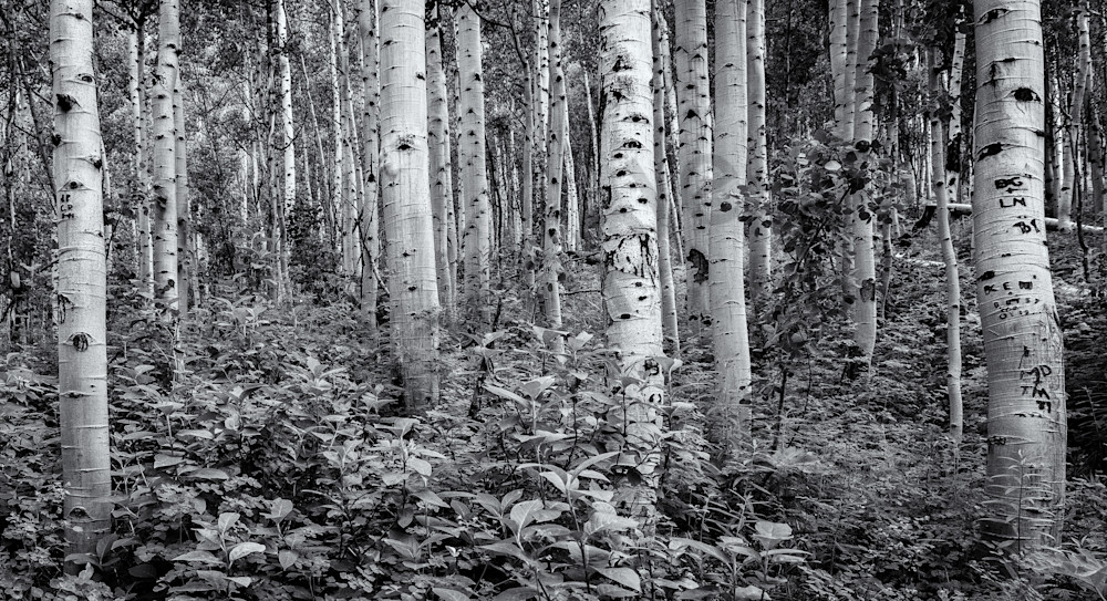Aspens   Maroon Bell Wilderness, Colorado Photography Art | Namaste Photography
