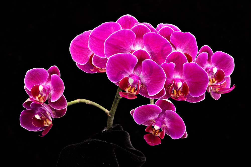 Pink Orchids 2