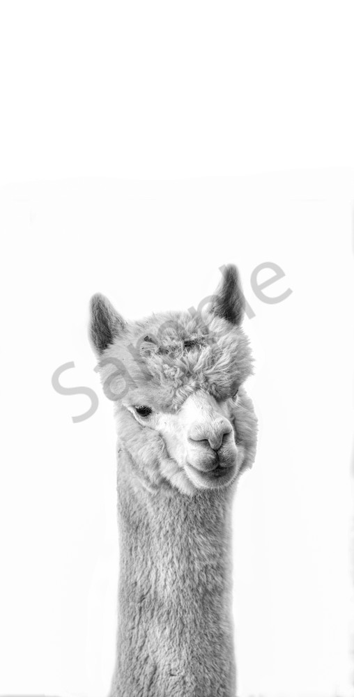 Alpaca Lunch Photography Art | Beth Houts Photography