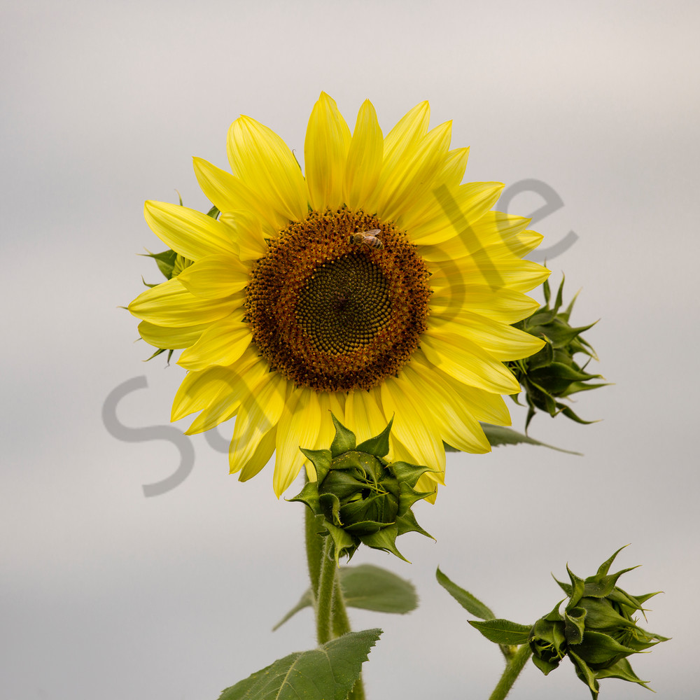 Sunflower.7