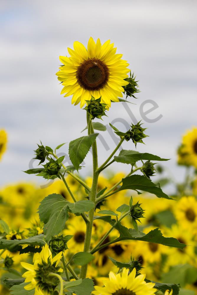 Sunflower.5