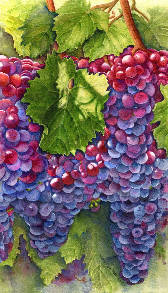 Colorful wine grapes on the vine paintings by / Colleen Nash Becht