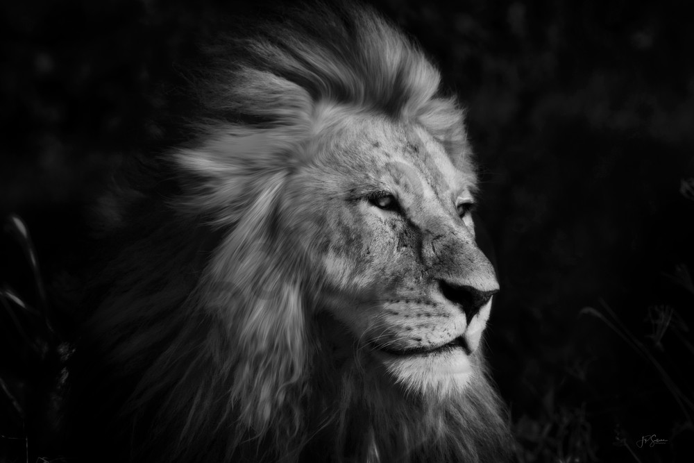black and white art prints - photography by JP Sullivan- lion king