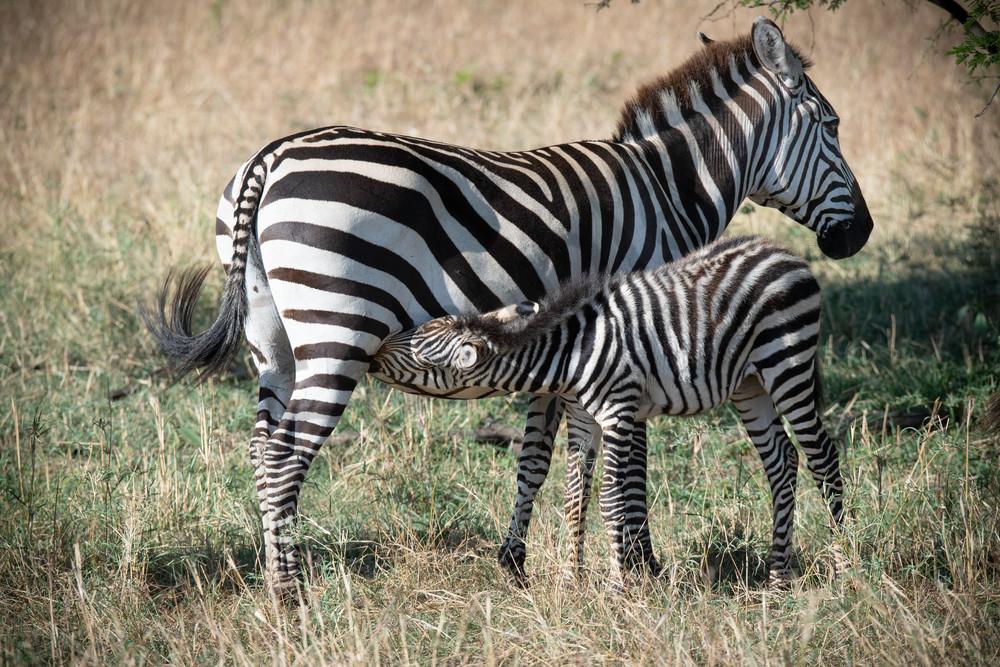 A nursing zebra - Africa - fine art photography prints - Serengeti