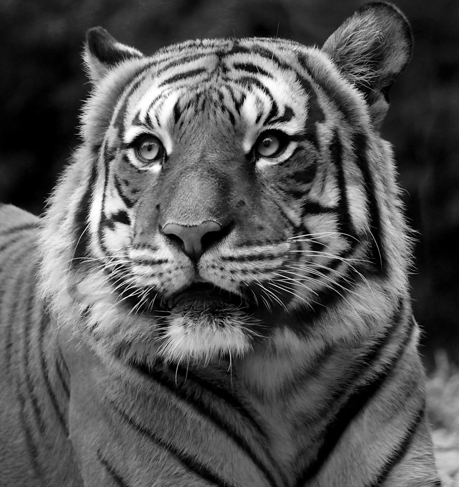 Tiger Stare   Black And White Art | No Blink Pictures, LLC
