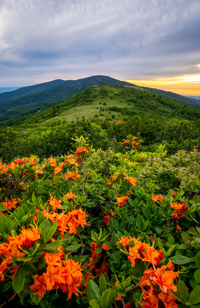 Flame Azaleas on Roan Mountain