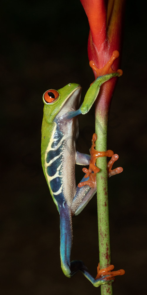 Red Eyed Tree Frog 14