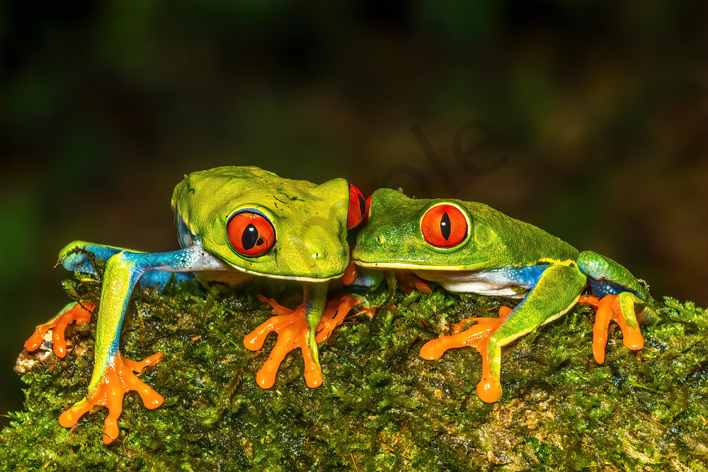 Red Eyed Tree Frog 16