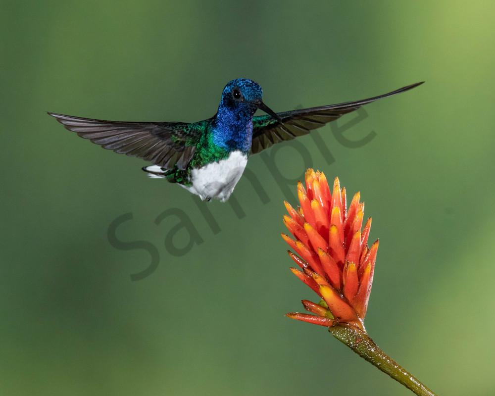 White Necked Jacobin Photography Art | John Martell Photography
