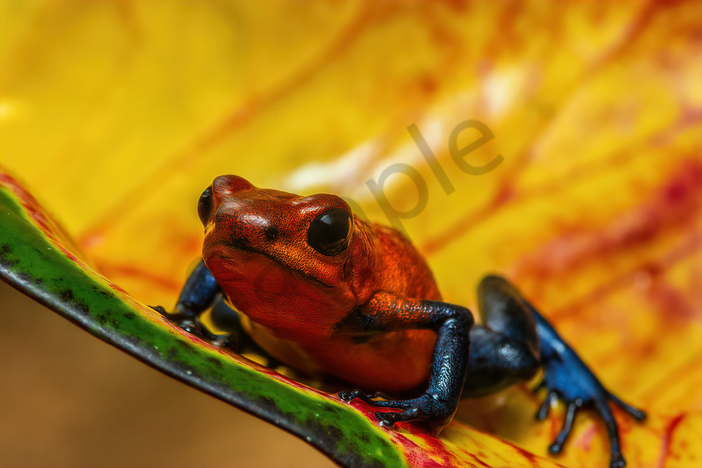 Strawberry or Blue jean Poison Dart Frog