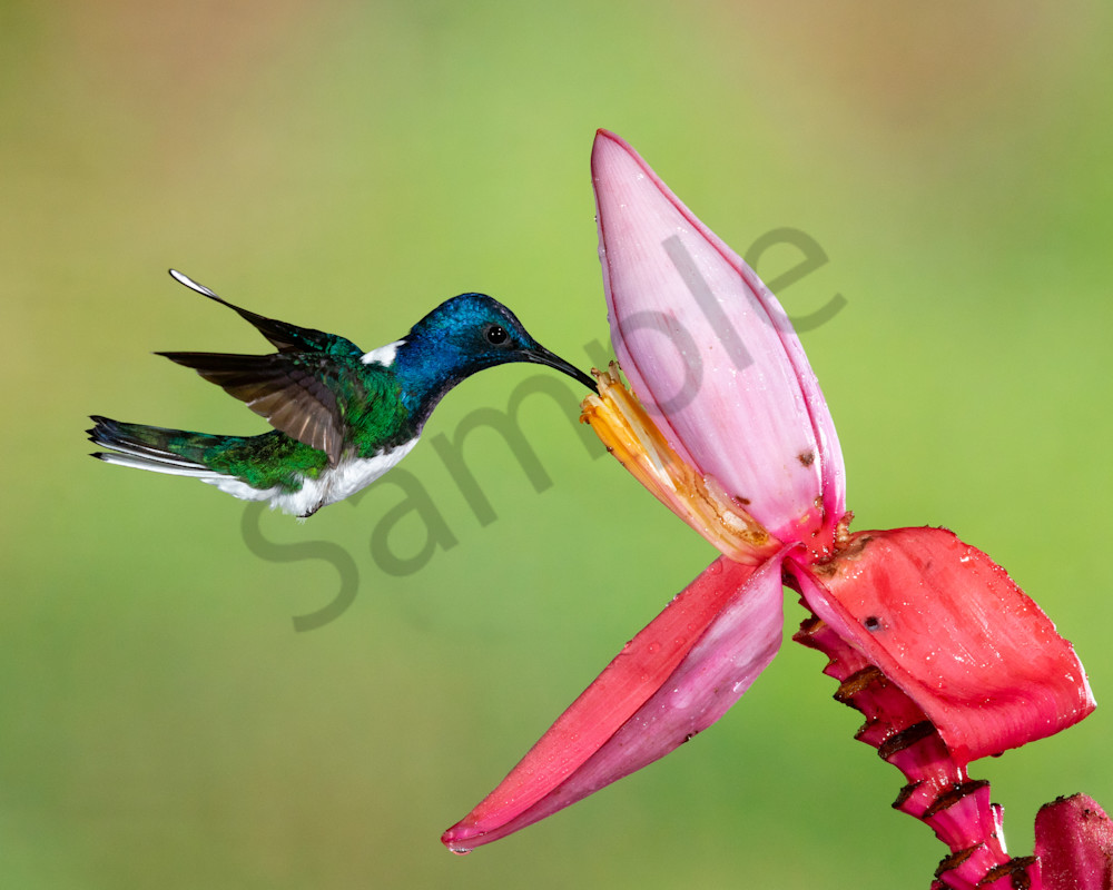 White Necked Jacobin On Banana Photography Art | John Martell Photography