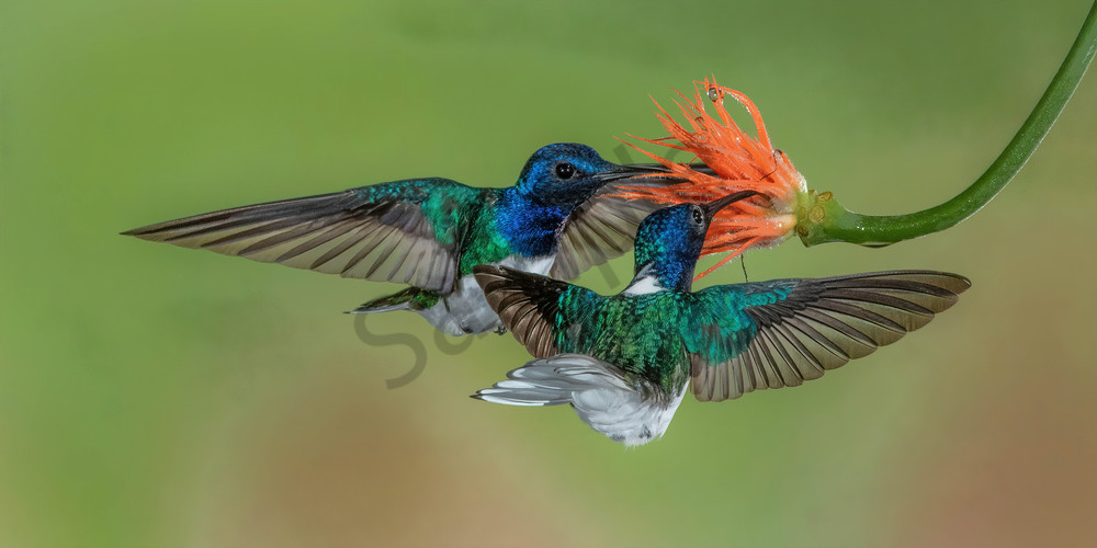 White Necked Jacobins Photography Art | John Martell Photography