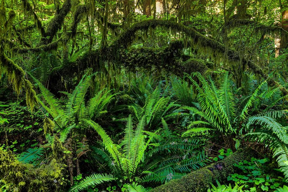 Pnw Hoh Rainforest 3 Photography Art | John Martell Photography