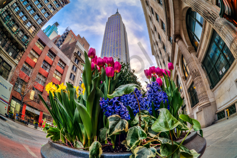 Tulips under Empire State Building
